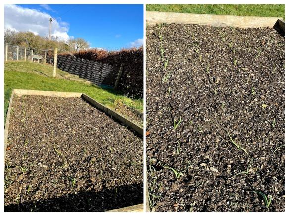 Growing garlic in winter