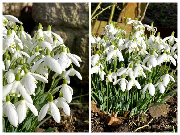 snowdrops collage