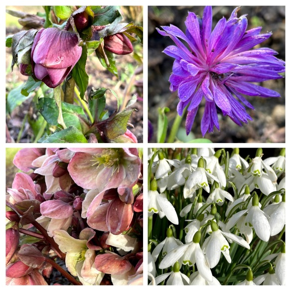 collage anemone, hellebores, snowdrops