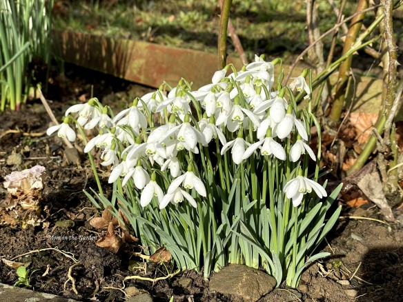 Snowdrops February 14 full sun and open