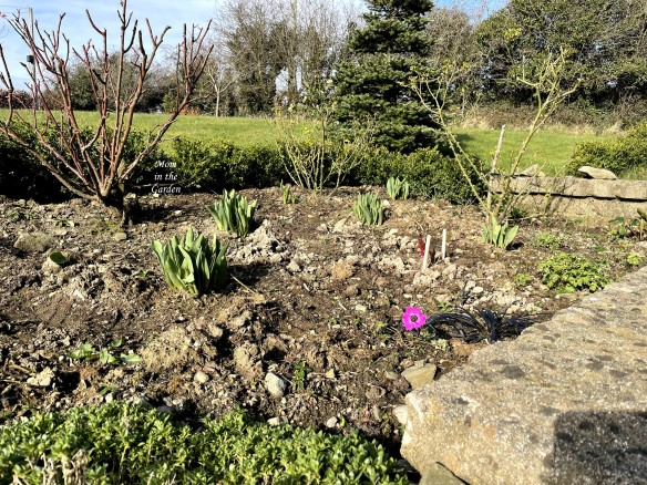 Pruned roses and pink anemone