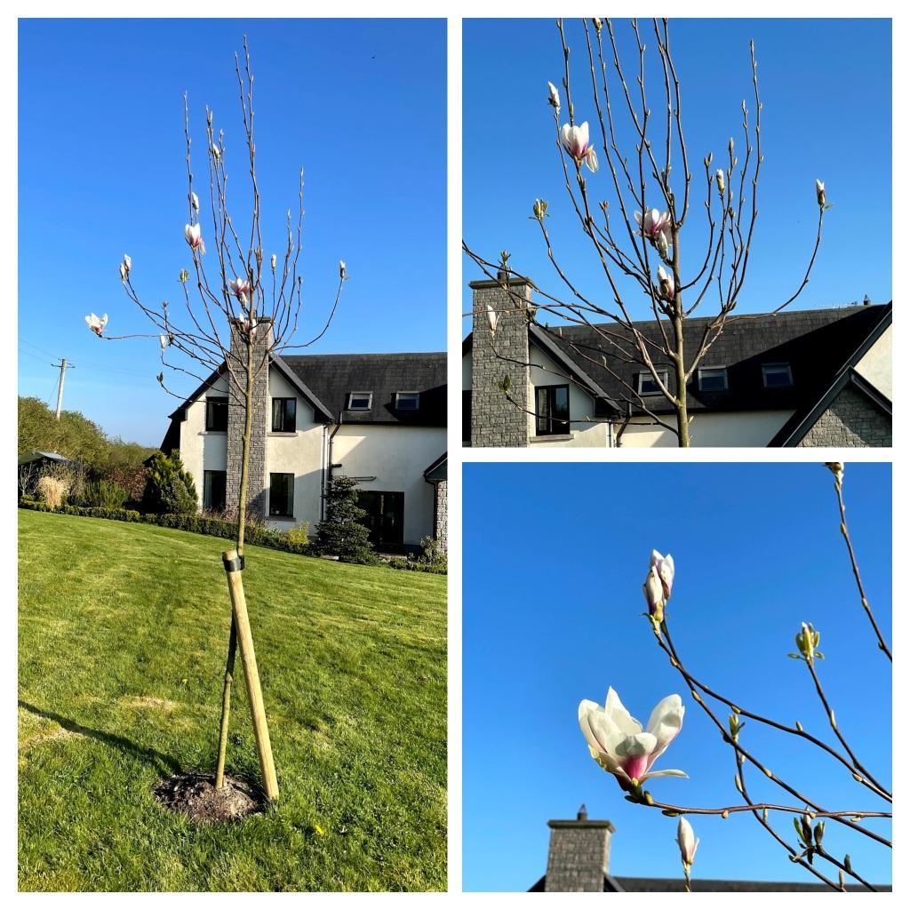 Magnolia tree - Heaven Scent
