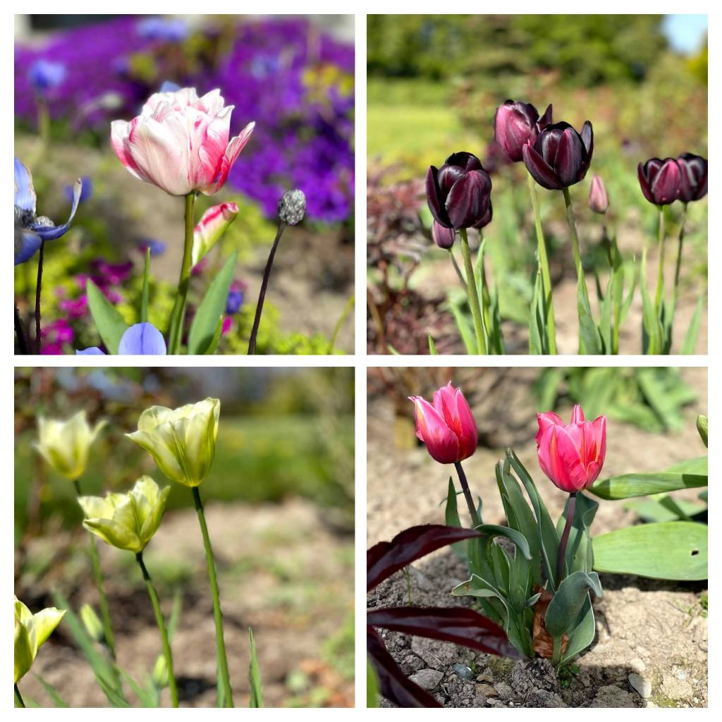 different varieties of tulips