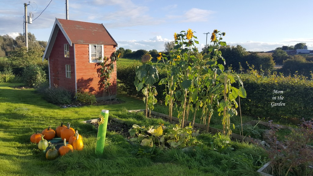 pumpkins, sunflowers and playhouse