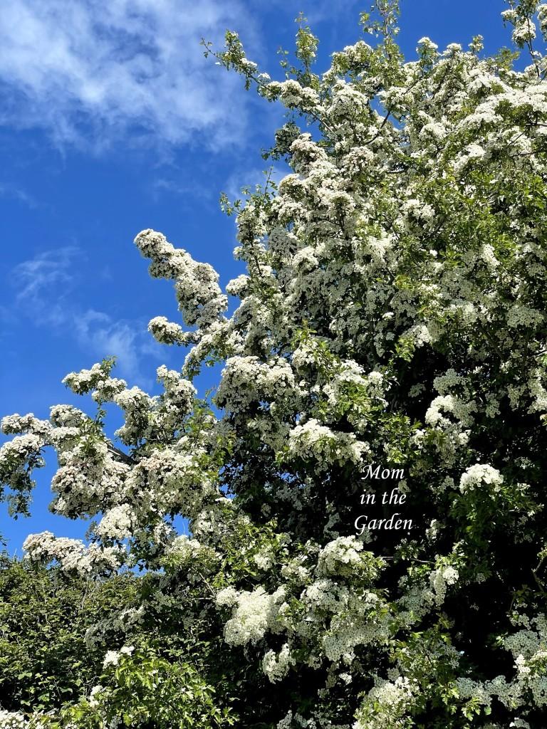 Hawthorn tree blue sky