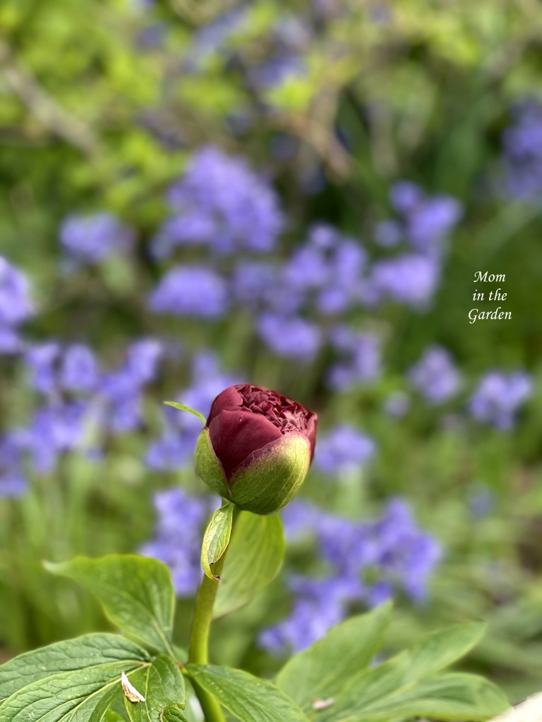 Peony and native bluebells