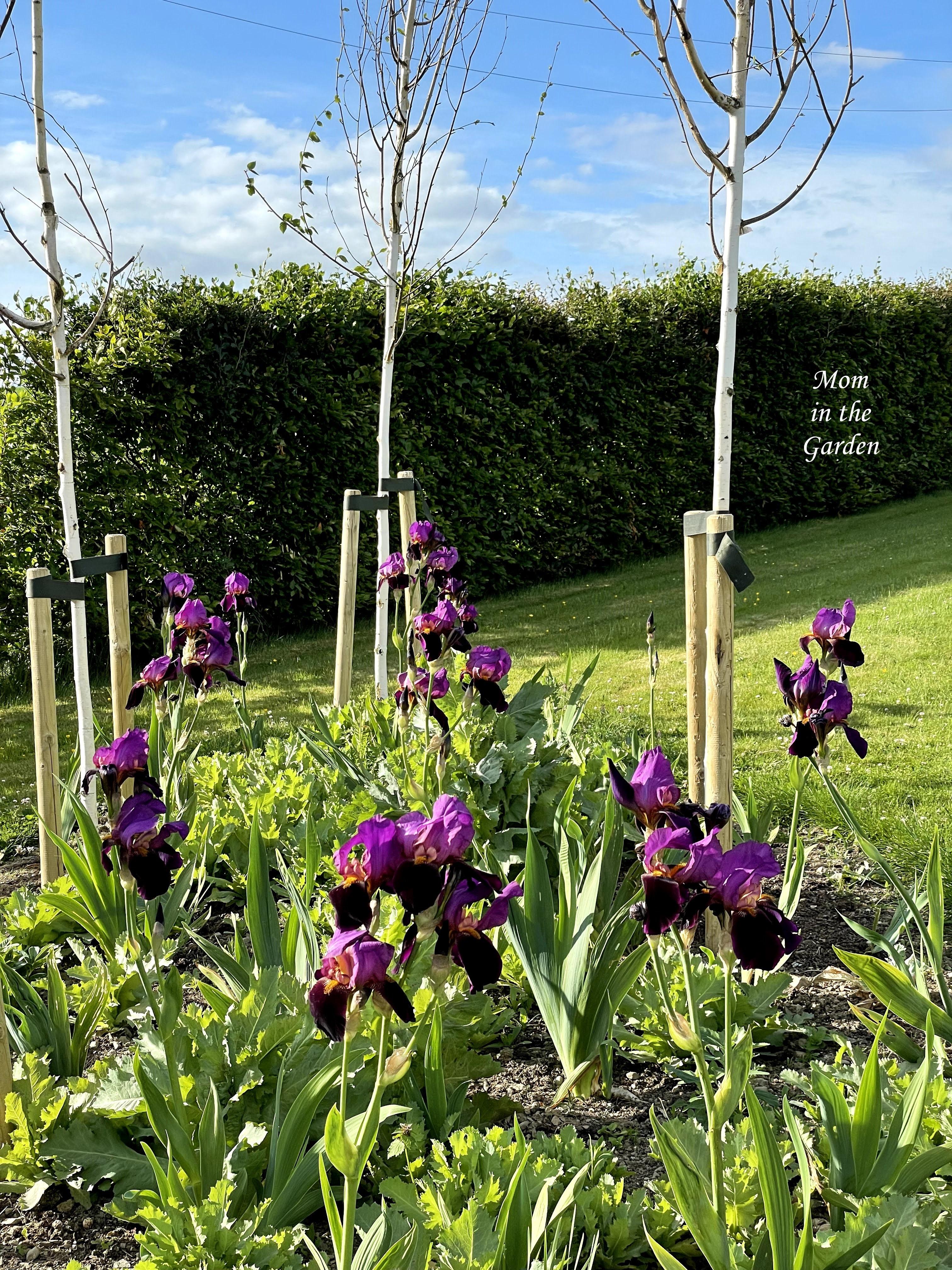 Benton Storrington Iris full sun