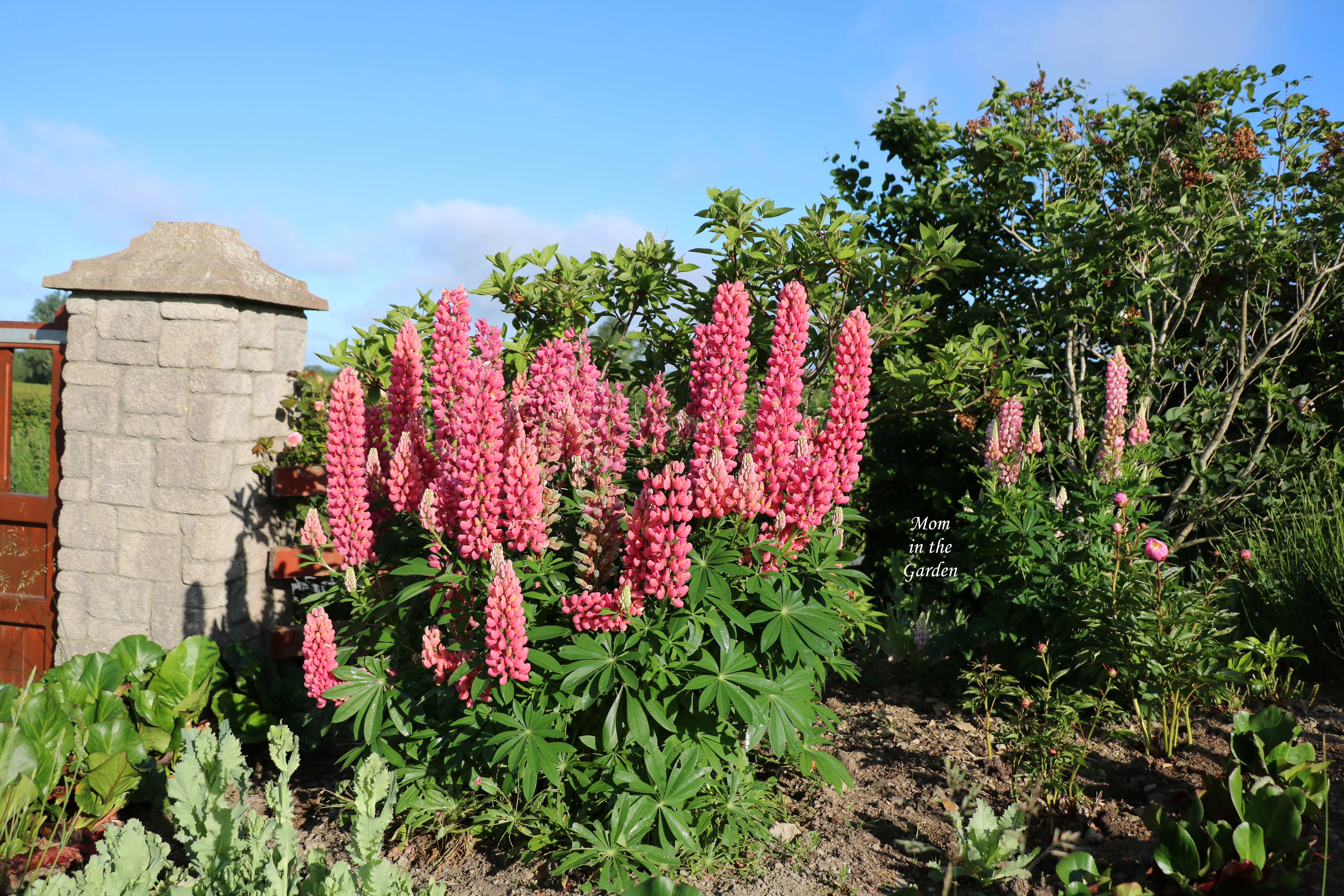 Full pink lupine plant early June