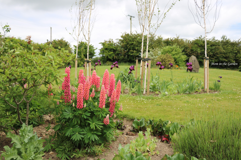 Pink lupine and Iris Benton Storrington early June