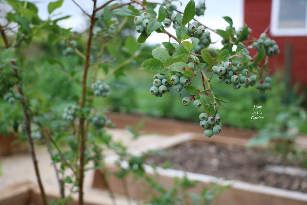 Blueberry shrub July 2021
