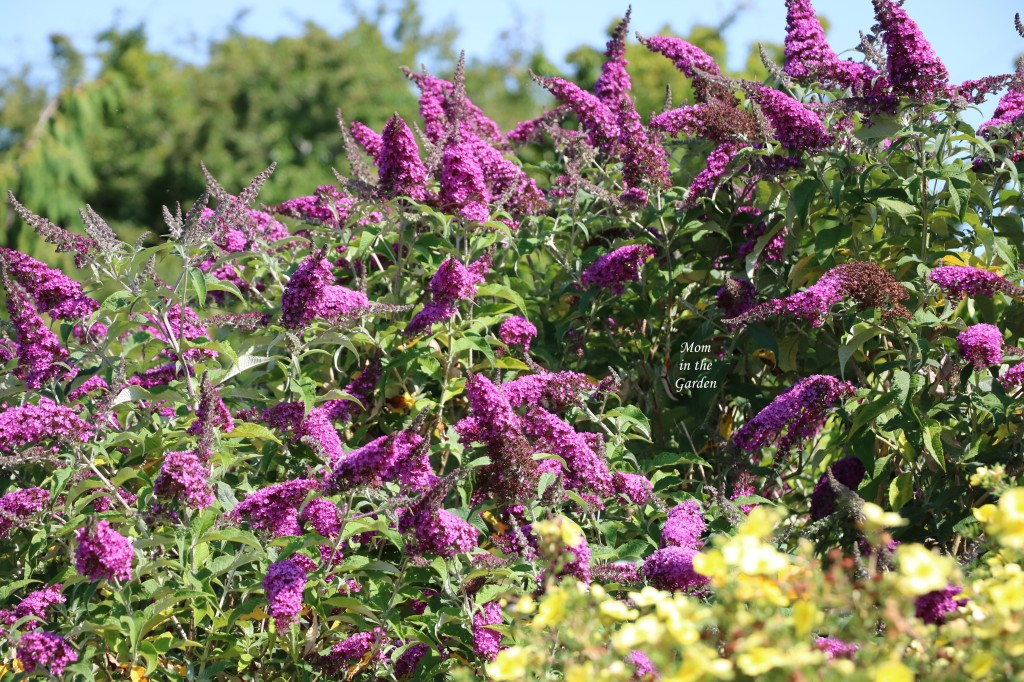 Buddleis Buzz 'dark pink' butterfly bush