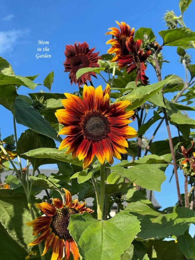 dark sunflowers with blue sky