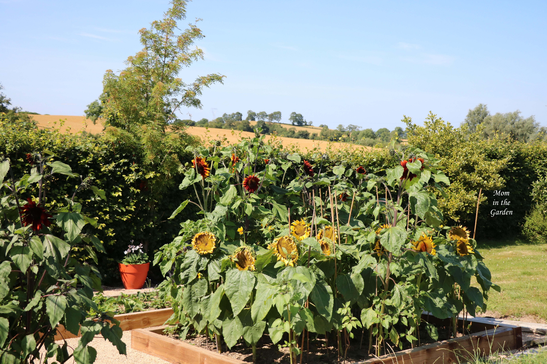 Full Sunflower bed 21 July