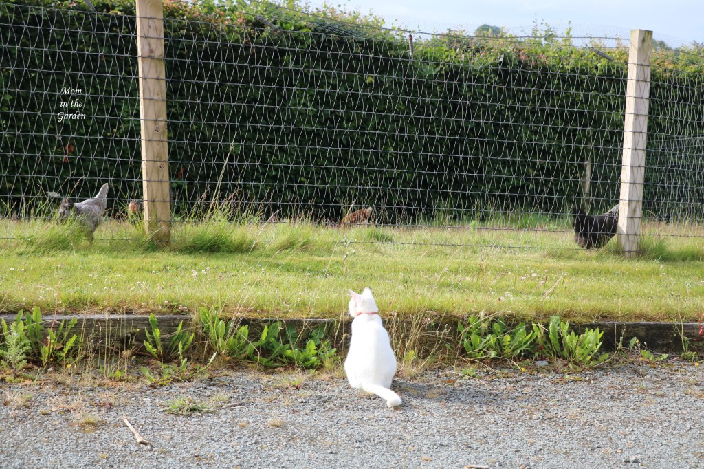 Kitty watching chickens from driveway