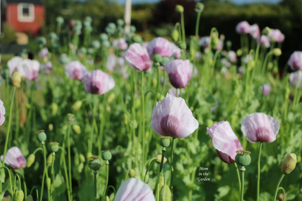 Lavender Poppies in Birch tree bed