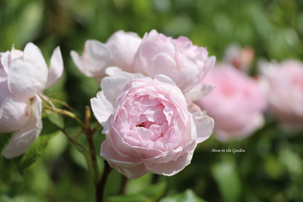 light pink David Austin Roses