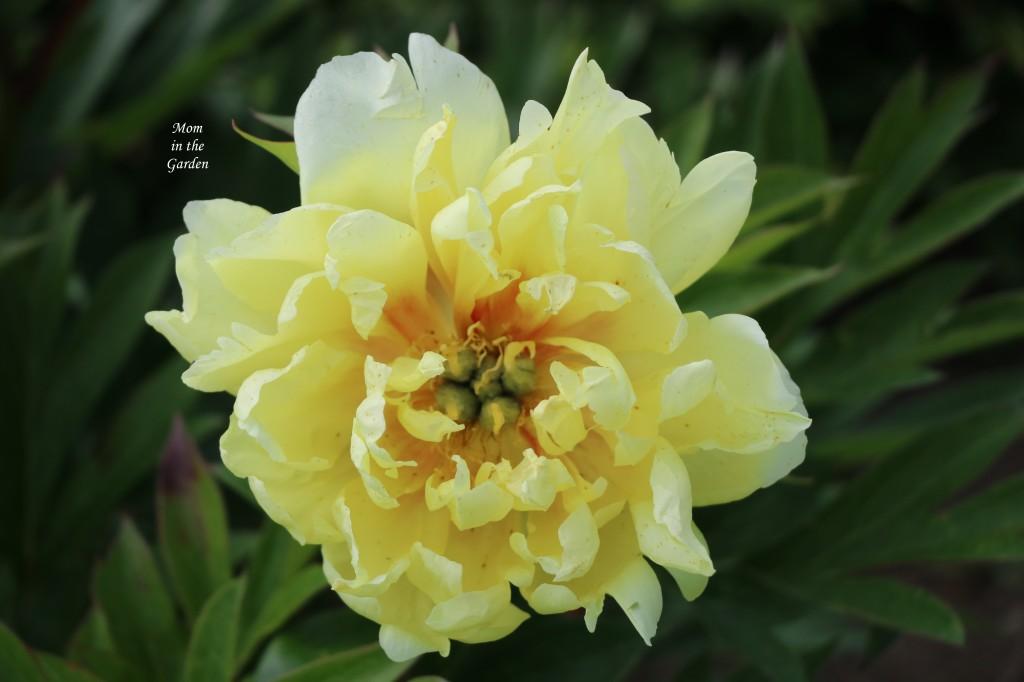 Peony Bartzella Yellow open