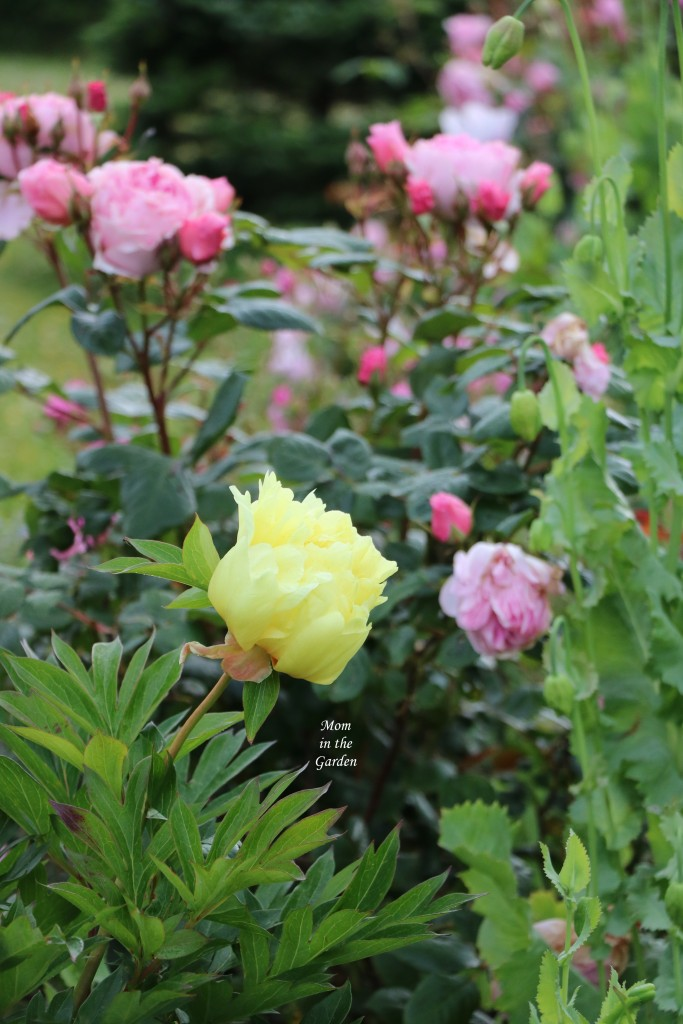 Peony Bartzella Yellow side view with roses