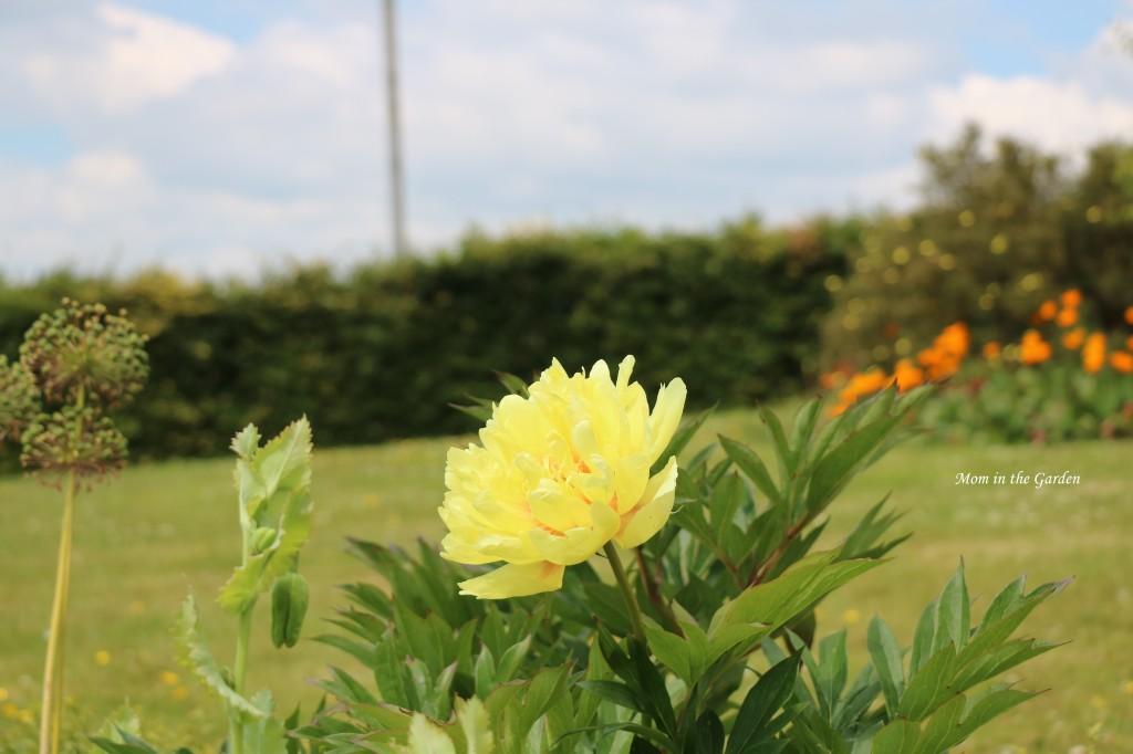 Peony Bartzella yellow with California poppies