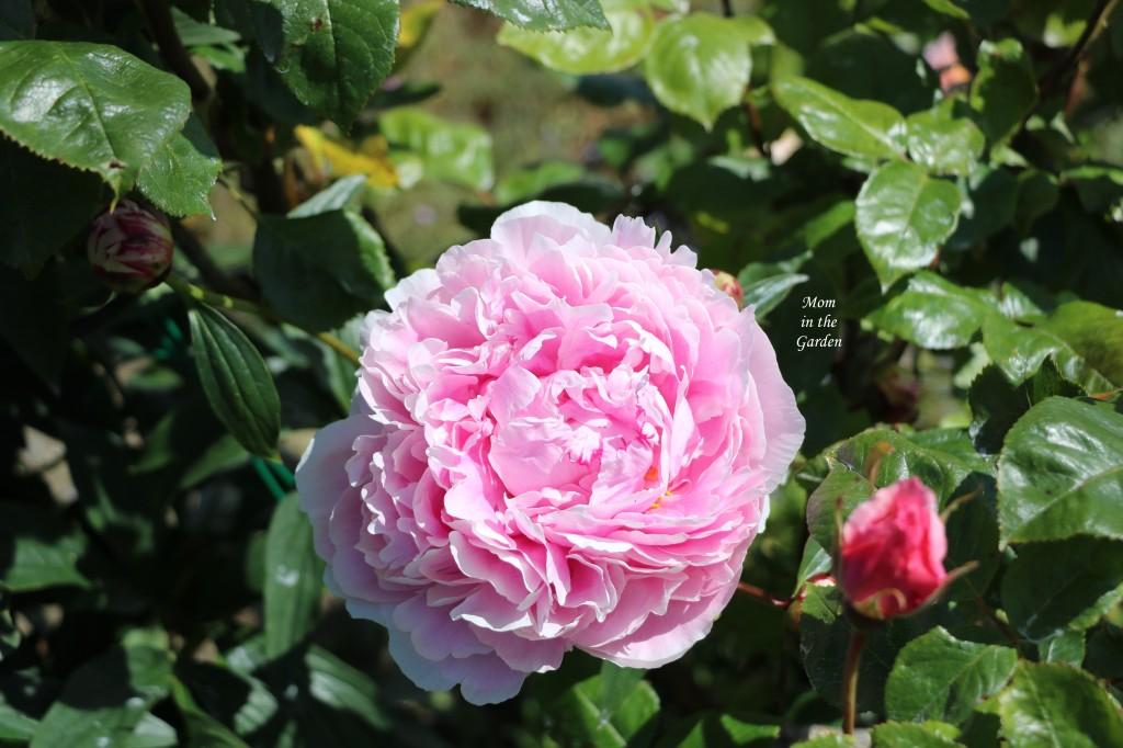 Peony Sarah Bernhard in garden