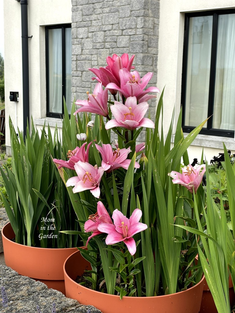 Pink lilies in container