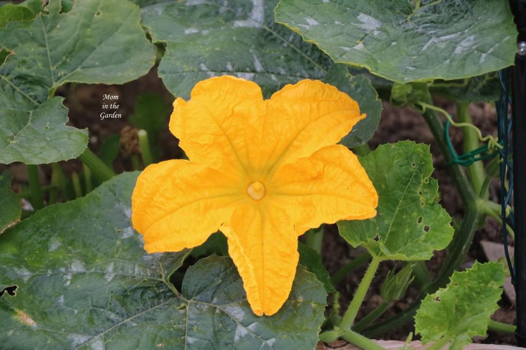 Pumpkin single flower open