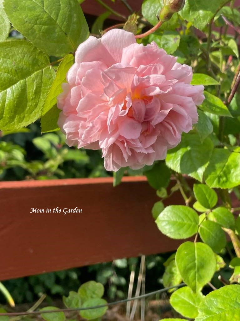 Strawberry Hill rose single flower