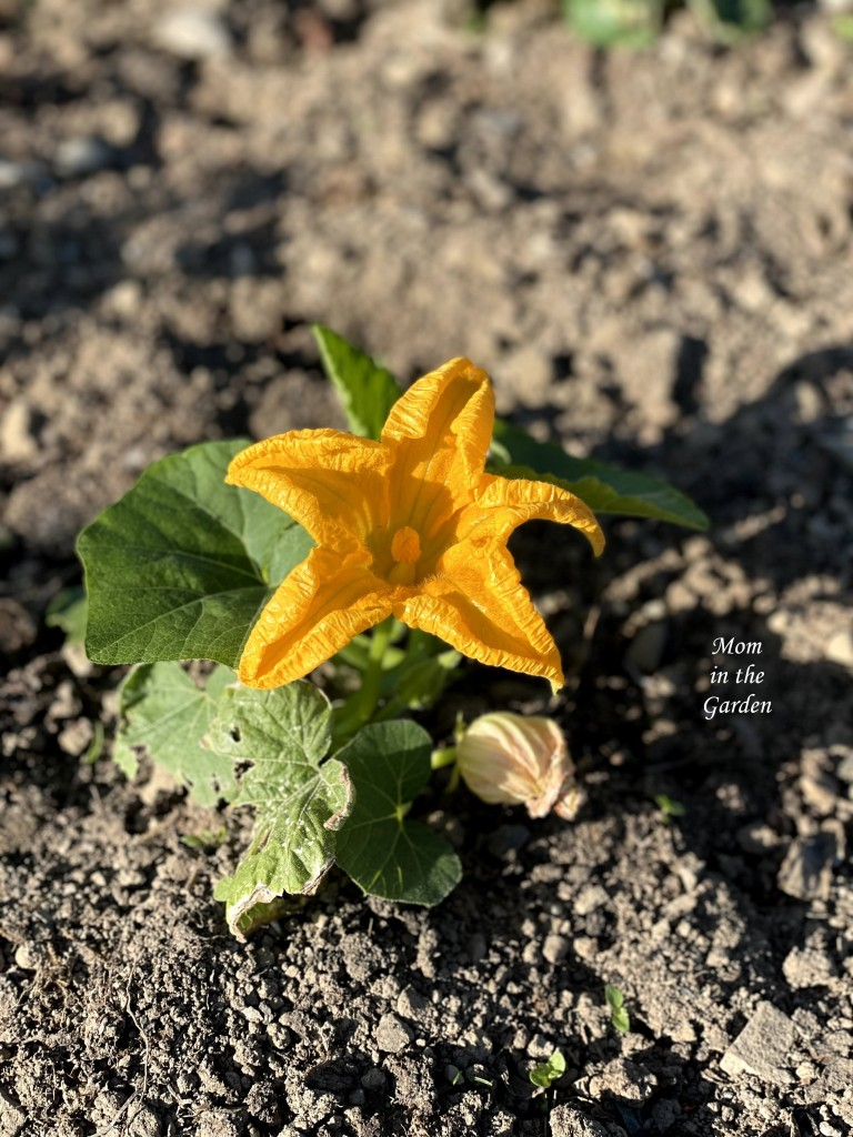 Young pumpkin plant in sun