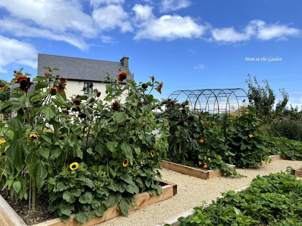 Back of the pumpkin arch and sunflowers 12 Aug