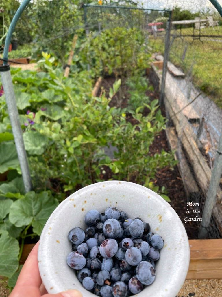 Bowl of Blueberries 5 August