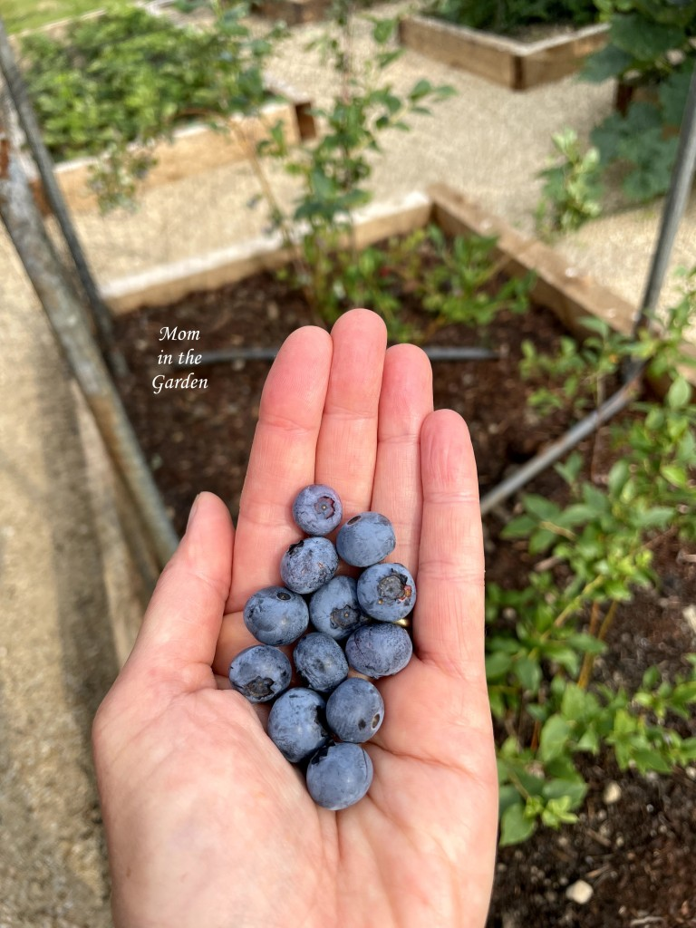 Blueberries in hand in July