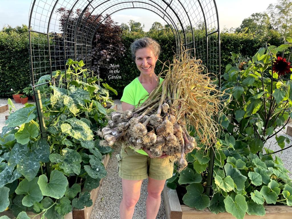 Garlic harvest July 11