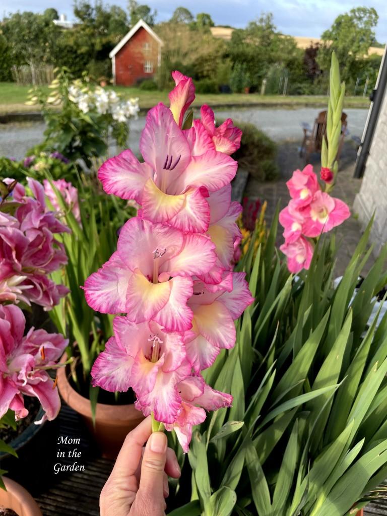 Gladiolus Rose Supreme 13 Aug