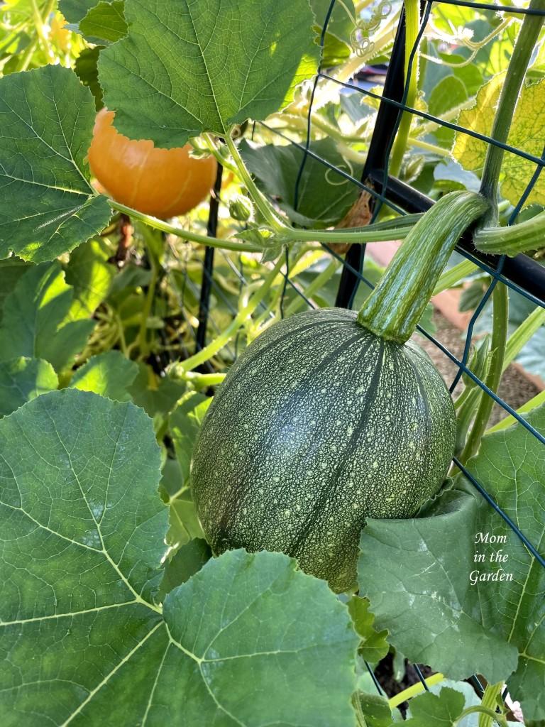 Green pumpkin and one orange squash (Red Kuri Squash) hanging on side of arch