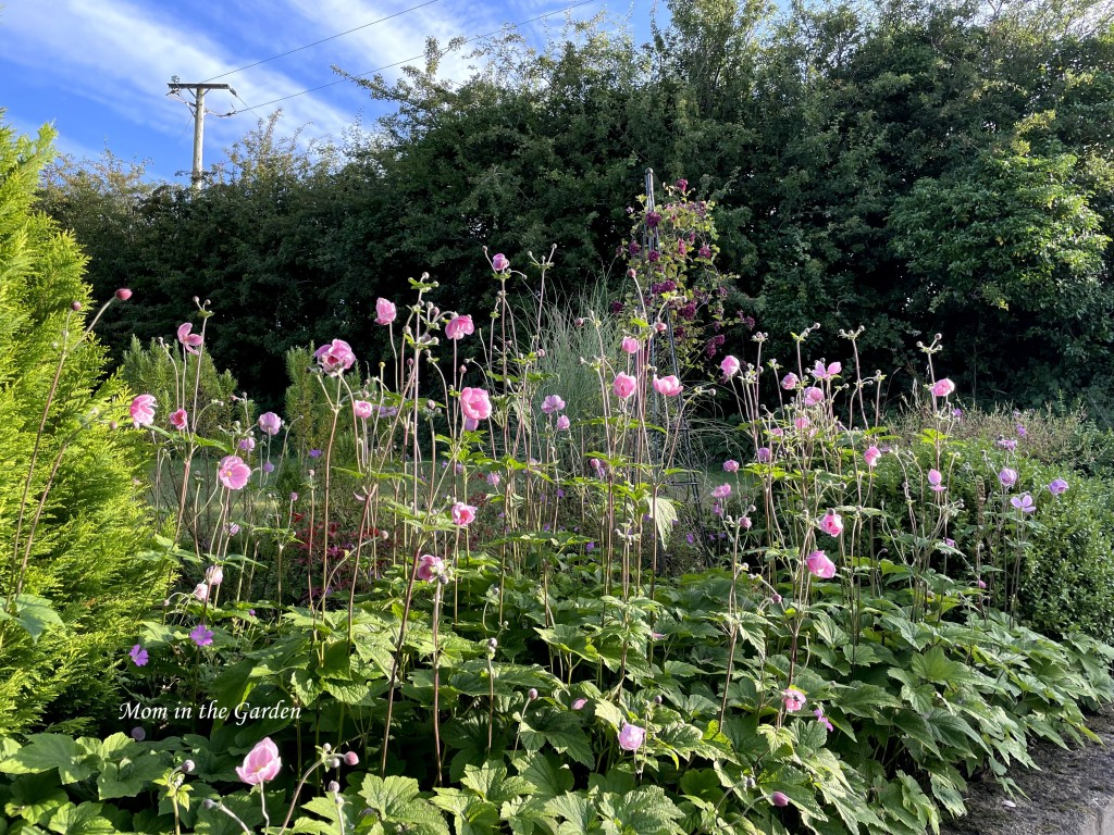 Japanese anemone in flower bed