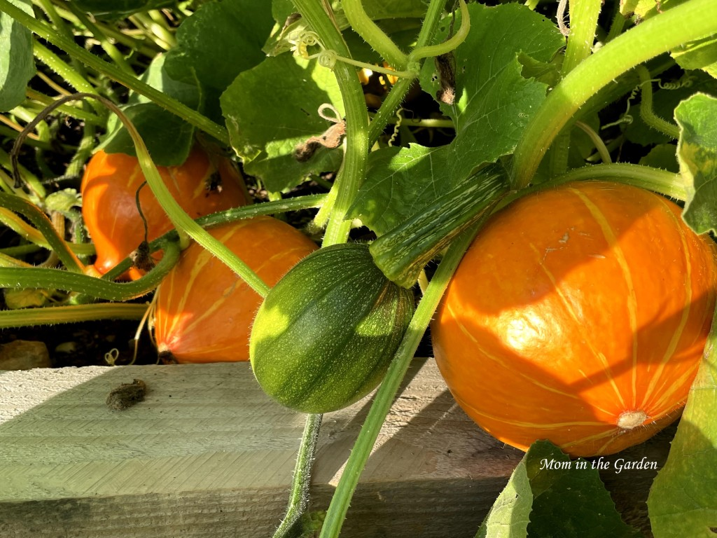 three Red Kuri squash and one green pumpkin