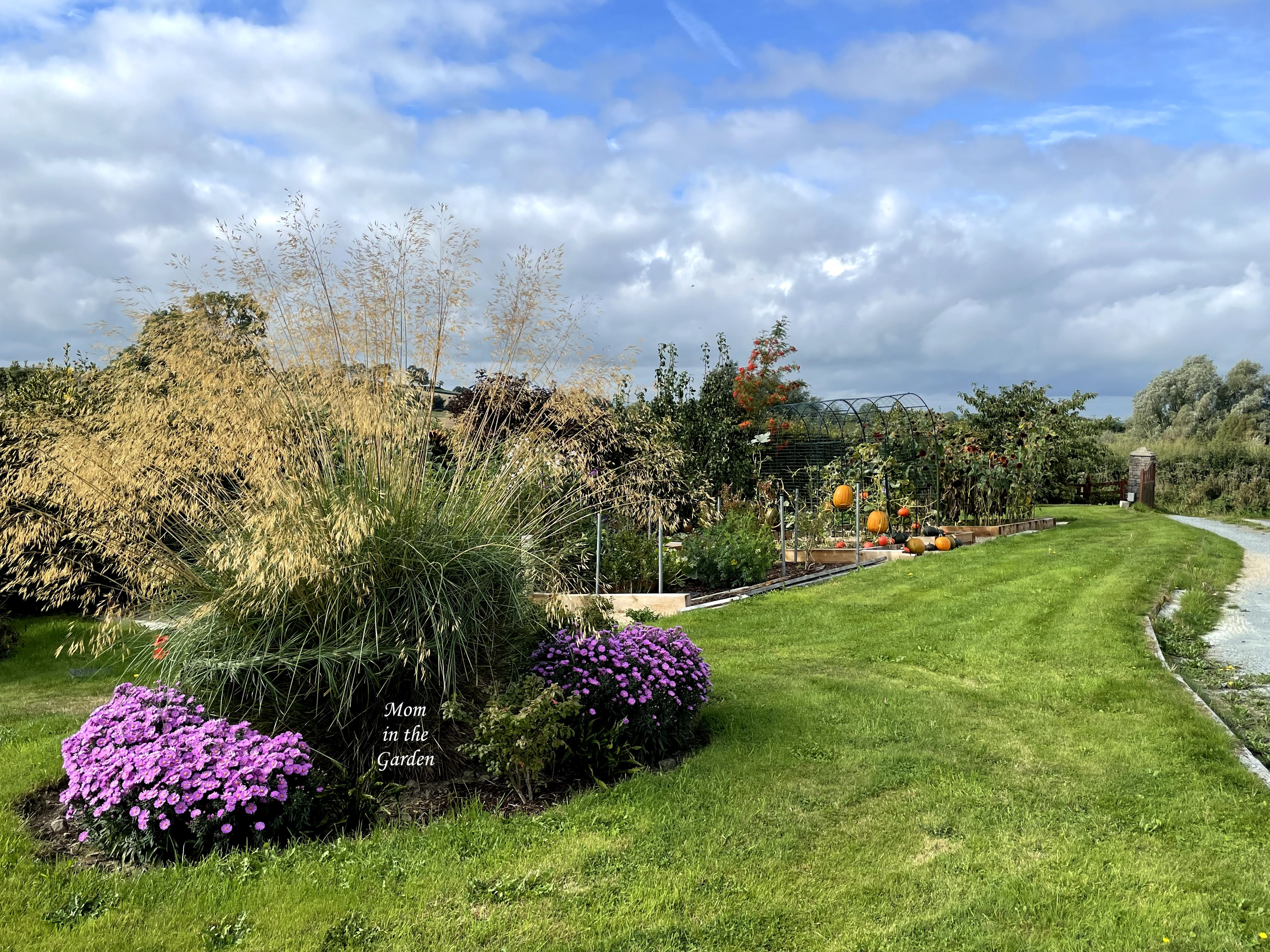 Asters and view of pumpkins