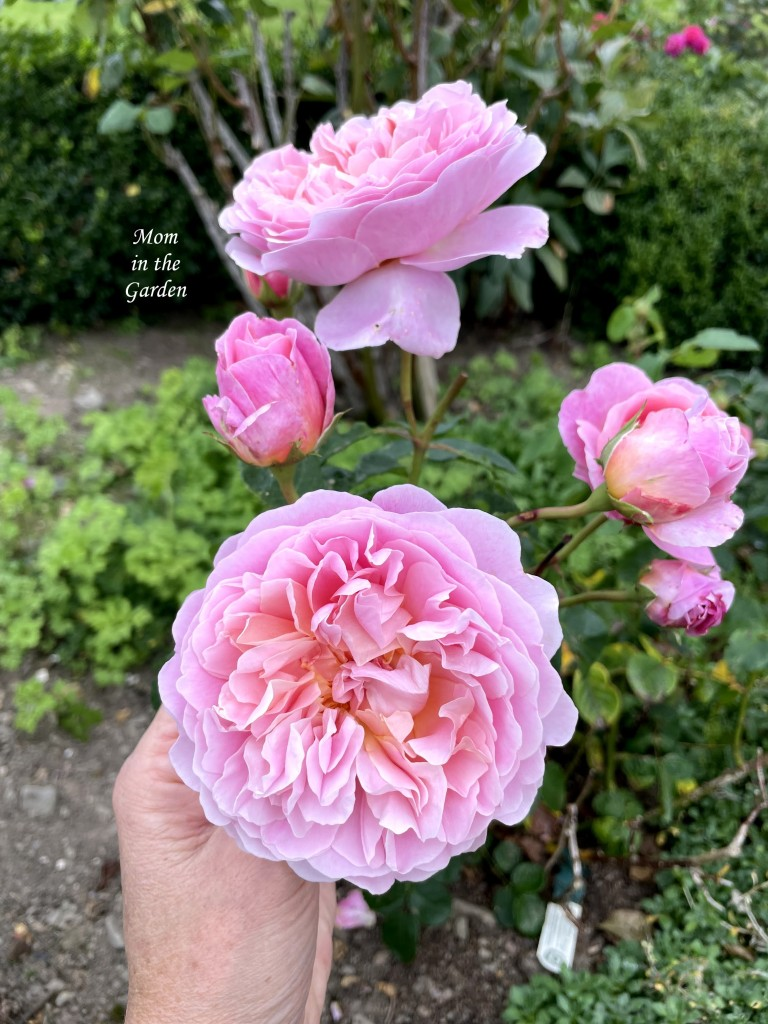 Eustacia Vye rose in September