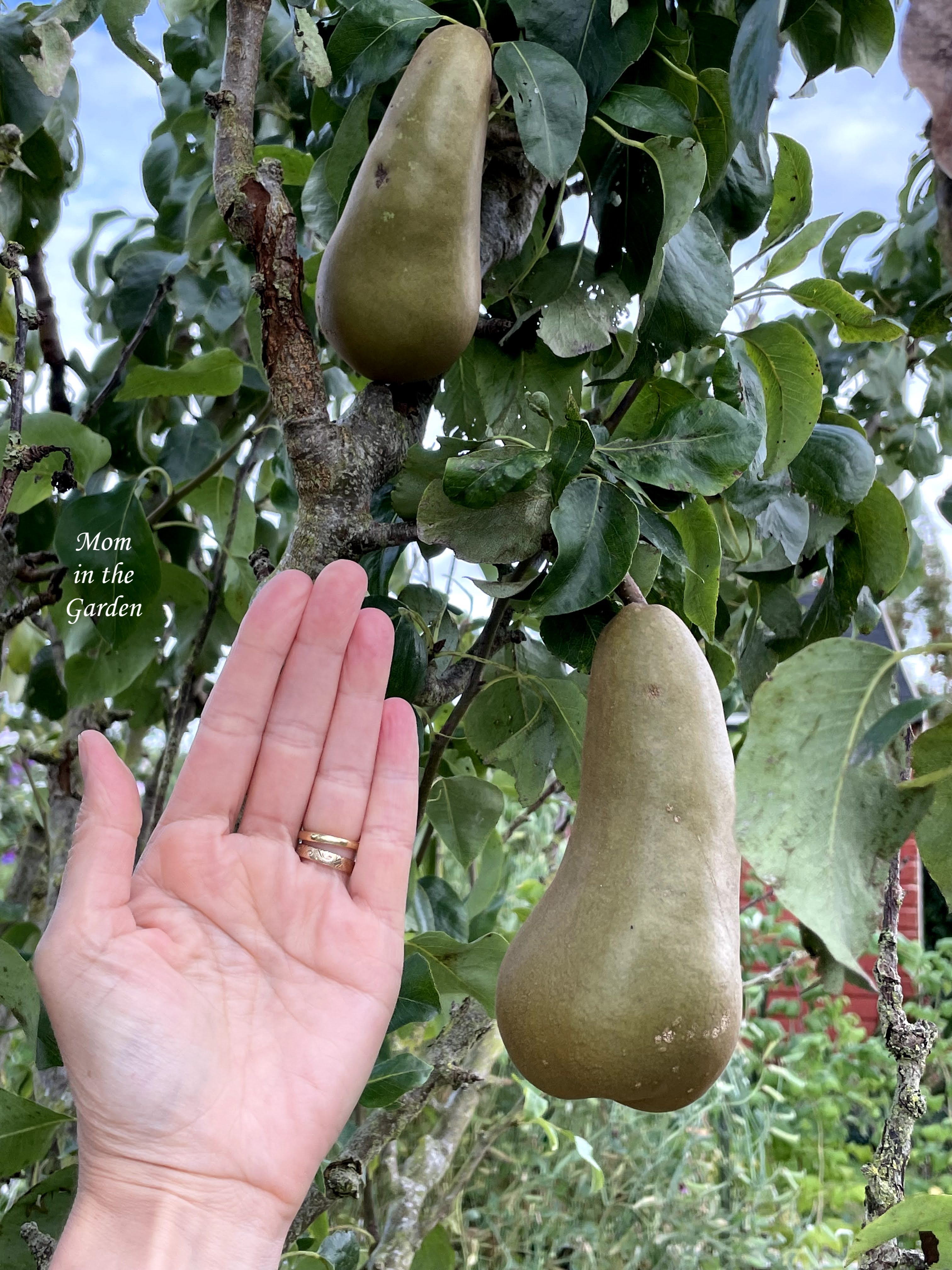 Two pears in tree