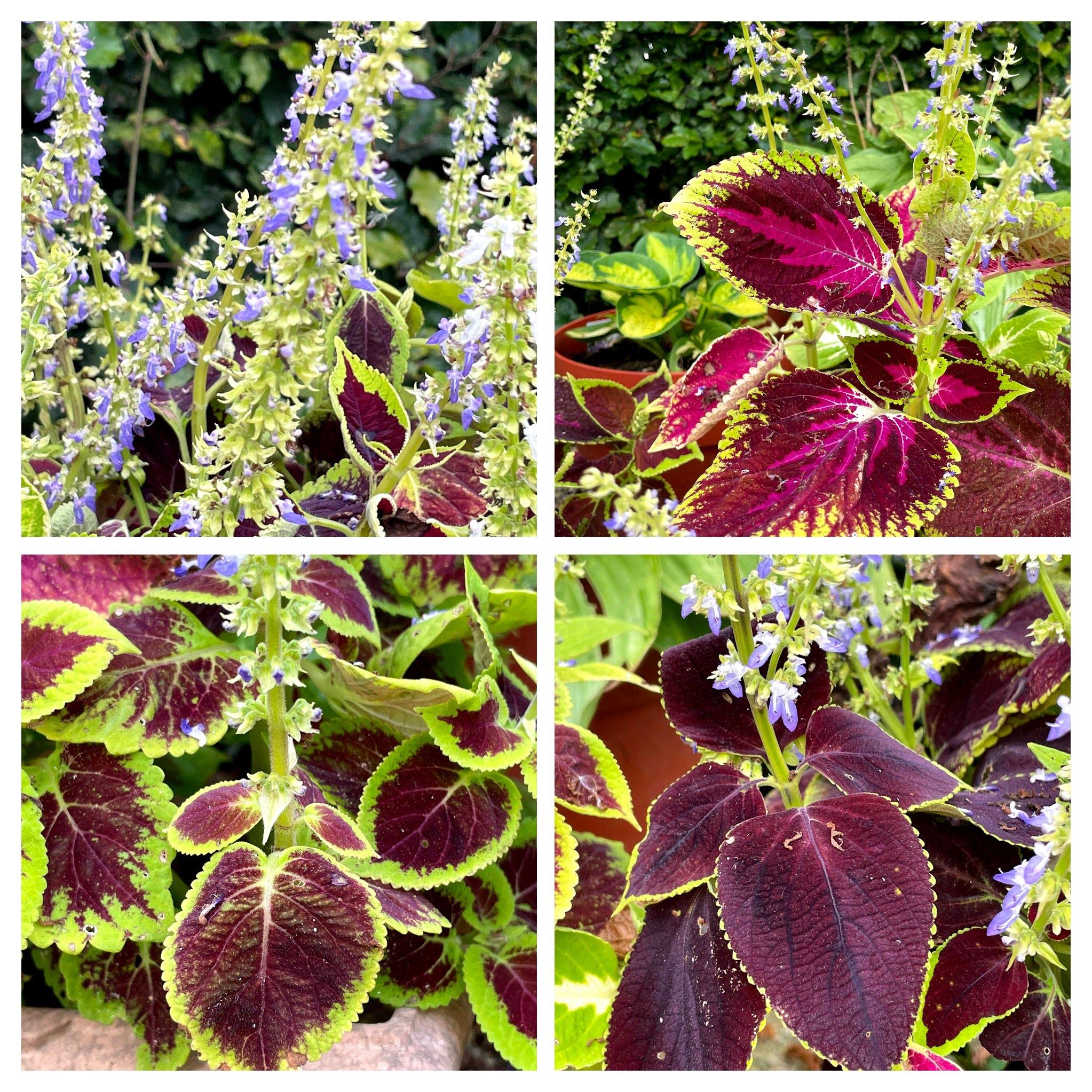 Coleus plants up close